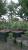 Cedar seedlings