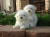 Awesome T-Cup Maltese Puppies 2