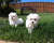 Awesome T-Cup Maltese Puppies 1